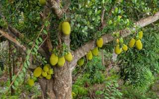Хлебное дерево: фото, описание листьев, цветов и плодов, вкус фруктов и советы по выращиванию