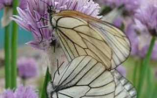 Гусеница и бабочка боярышницы – фото и описание, как бороться
