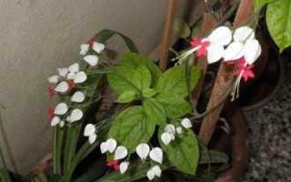 Почему не цветет клеродендрум – уход в домашних условиях: фото, видео