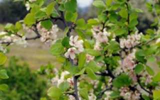 Выращивание гибрида вишни и сливы