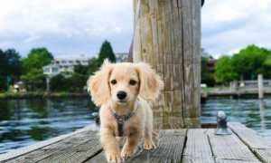 Карликовая такса: размеры взрослой собаки, описание породы, характер