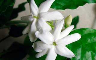 Комнатный жасмин: как правильно ухаживать за цветком в домашних условиях