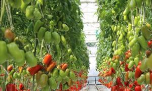 Томат Корнабель F1: характеристика и описание сорта, особенности выращивания