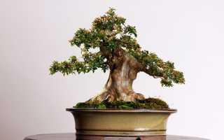 Виды и стили маленьких деревьев бонсай