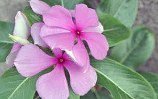 Ампельный катарантус: уход в домашних условиях, фото, выращивание из семян