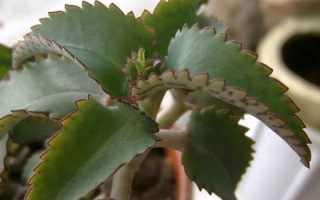 Каланхоэ вянет: что делать и как спасти растение