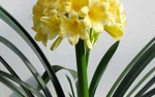 Цветок кливия: приметы и суеверия, можно ли держать дома?