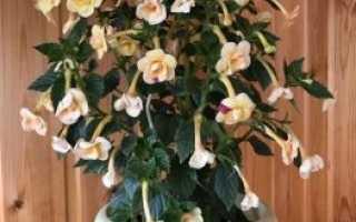 Комнатный цветок ахименес: характеристика, уход и размножение в домашних условиях, описание видов и сортов