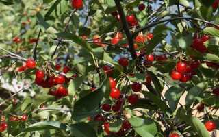 Вишня щедрая: описание сорта, выращивание, фото