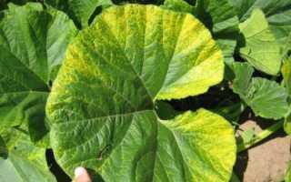 Болезни тыквы – белый налет, плесень на листья и стеблях, видео