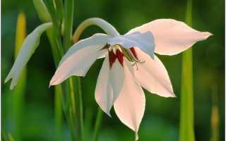 Цветок ацидантер: посадка и уход в открытом грунте, фото, выращивание, зимовка