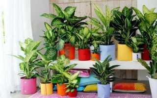 Диффенбахия – почему нельзя держать дома и офисе – приметы и суеверия