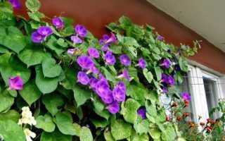 Ипомея на балконе: посадка, выращивание и уход своими руками