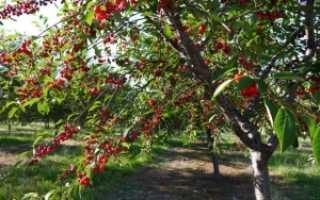 Правила выращивания вишни из косточки