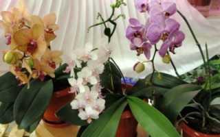 Цвет цветов фаленопсиса: каким он бывает, описание и фото черных, голубых, красных, фиолетовых
