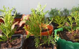 Размножение туи черенками осенью: посадка и размножение дерева в домашних условиях