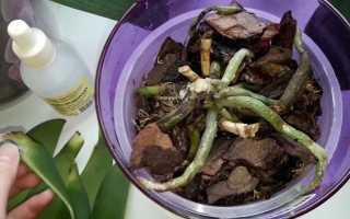 Как реанимировать орхидею без листьев в домашних условиях
