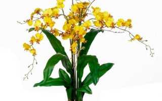 Орхидея Онцидиум: посадка, уход и размножение в домашних условиях, фото