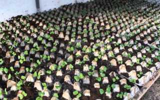 Посадка редиса в ячейки из под яиц: как посадить в яичные кассеты, процесс выращивания