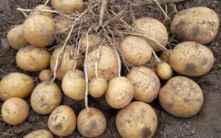 Плод картофеля: как его правильно называть, клубень или ягода, ядовит корнеплод или нет