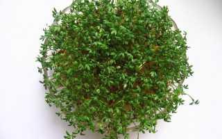 Кресс-салат: виды и сорта, выращивание на даче и подоконнике