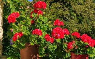 Чем подкормить герань для обильного цветения в домашних условиях?