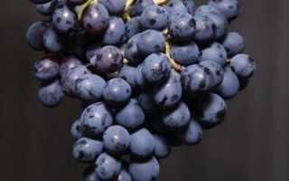 Сорт винограда киевский фиолетовый: описание