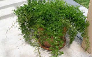 Аспарагус домашний – размножение в домашних условиях из семян, клубнями, черенками