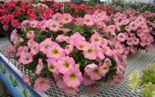 Как вырастить ампельную петунию, основные правила посадки и ухода за цветком