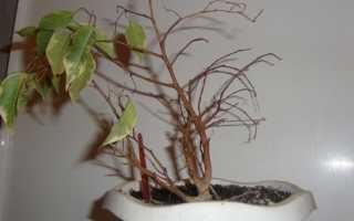 Сохнут листья у фикуса — причины, лечение растения, профилактика