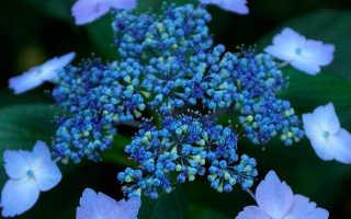 Гортензия пильчатая Блюберд: посадка и уход за кустарником