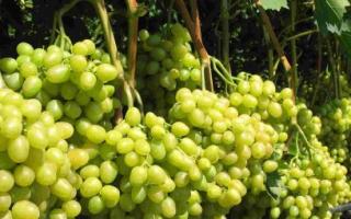 """Виноград """"Супер Экстра"""": описание сорта, отзывы + фото"""