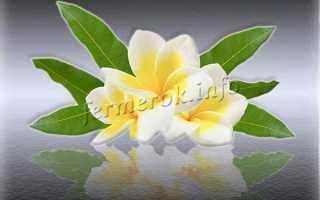 Цветок плюмерия (45 фото): белая, красная, выращивание из семян, уход в домашних условиях
