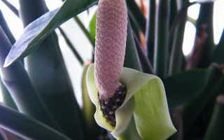 Замиокулькас или долларовое дерево: родина растения, как цветёт и как ухаживать в домашних условиях