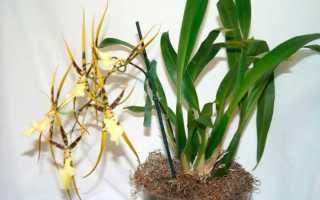 Орхидея брассия, уход в домашних условиях, размножение и фото