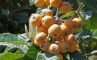 Мушмула германская и японская выращивание в домашних условиях, посадка, уход, фото