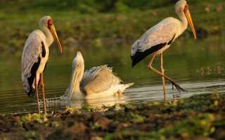 Пеликаны картинки (41 фото) скачать обои