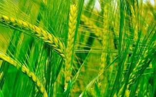 Пшеница – 78 фото основного сельскохозяйственного злака