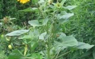 Подсолнечник однолетний (масличный): семена, листья, лепестки, лечебные свойства, противопоказания, описание культуры, фото