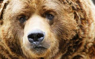 Как правильно вести себя при нападении медведя