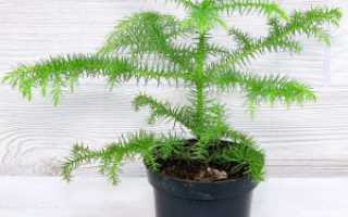 Комнатная араукария – уход и размножение в домашних условиях