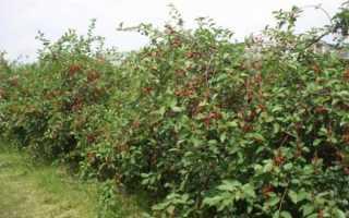 Особенности десертной вишни Морозовой