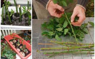 Размножение роз черенками с фото и видео, размножение роз прививкой летом, осенью и зимой