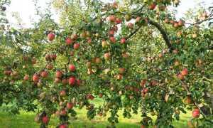 Яблоня Рубин: характеристики и описание сорта, урожайность и регионы выращивания