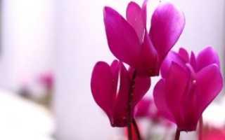Капли от гайморита с цикламеном на основе экстракта растения: название и способ применения аптечного препарата