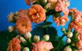 Как ухаживать за каланхоэ: 7 основных советов цветоводам