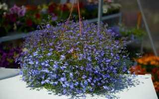 Лобелия – выращивание из семян, посадка и уход, высадка в саду