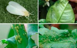 ВРЕДИТЕЛИ комнатных растений: МЕРЫ, средства, препараты – ОБЗОР