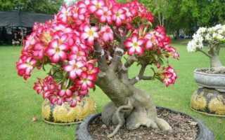 Выращивание адениума из семян в домашних условиях, посадка и уход + фото