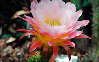 Эхинопсис: фото, виды и уход за кактусом в домашних условиях